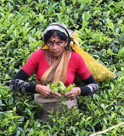 Čajové plantáže, spice garden